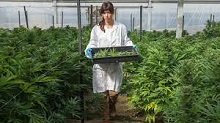 What is a MoM (Mail Order Marijuana) Dispensary?